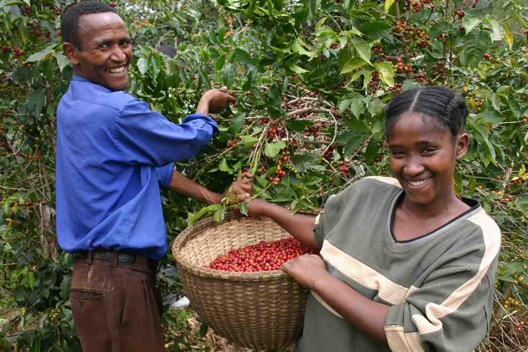 Ах, кафето! Кратка история на дългия път на етиопското растение към Европа