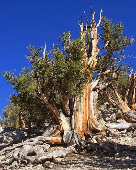 481px-Big bristlecone pine Pinus longaeva Custom