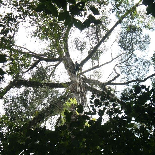 Лазерен скенер откри дърво колкото Биг Бен