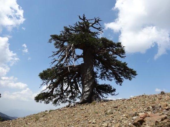 Най-старото известно европейско дърво е в Гърция