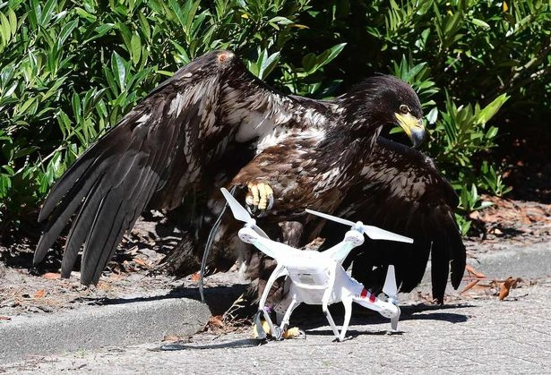 Холандската полиция ще използва орли за сваляне на дрони