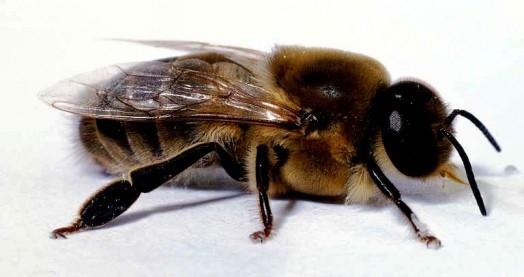 Създадоха дрони-пчели