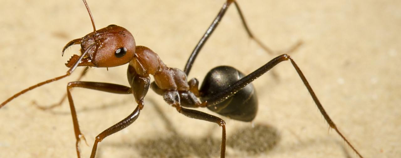 Мравките със собствен GPS