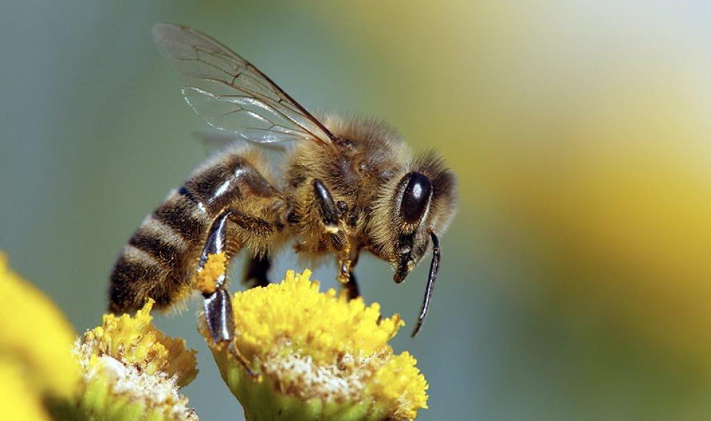 Пчелите – най-важните същества на планетата