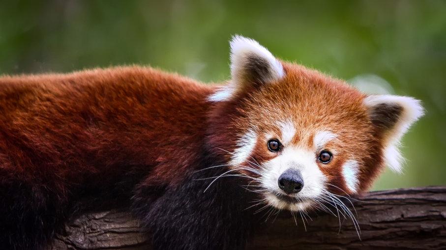 Сложиха GPS на червени панди, за да ги изследват